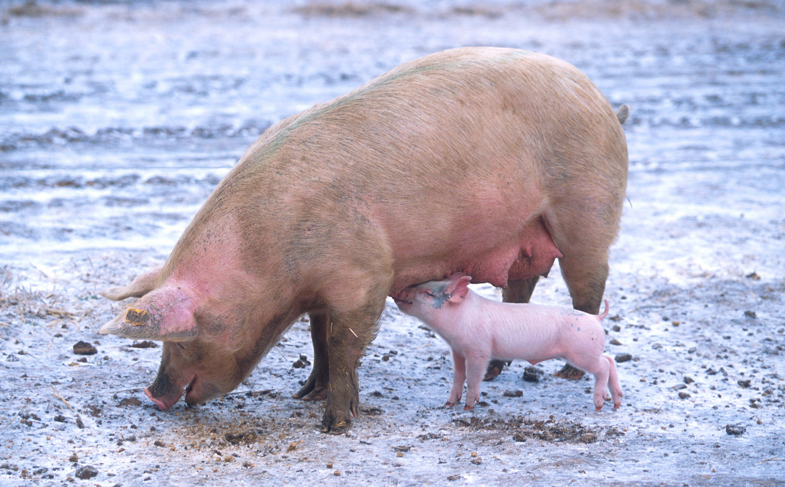 Christie Spikes Politically-Motivated Pig Gestation Crate Ban Bill