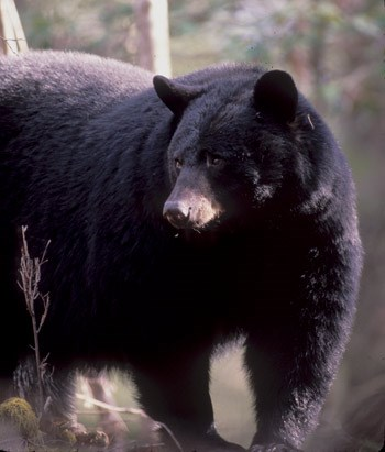 OPINION: The Bear Hunt Remains A Critical Tool… No Matter What Extremists Say!