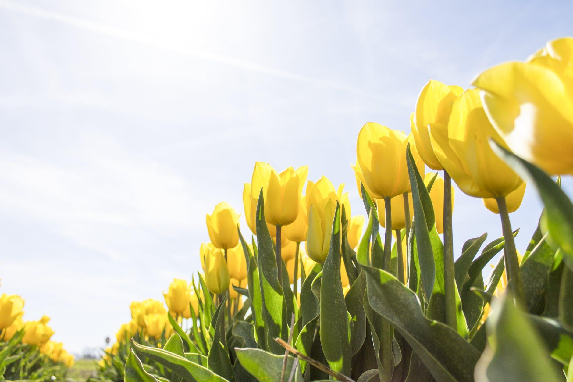 Grewal closes tulip farm to walk-thru AND drive-thru traffic